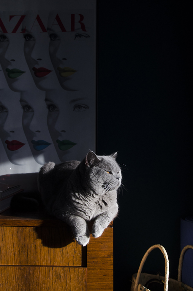 Moody George // British shorthair cat